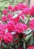 Alpenrose Rhododendron Nova Zembla 50-60 cm hoch mit Ballen