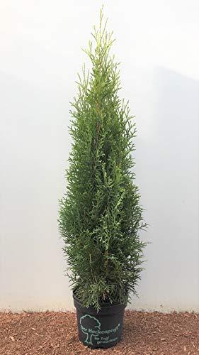 Heckenprofi Edel Thuja Smaragd immergrüner Lebensbaum Zypresse 60-80cm im Topf gewachsen (10 Stück)