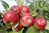 Apfel Baum 'Gravensteiner' Malus domestica Topf gewachsen 150-200cm im 7,5L Topf winterharter Obstbaum