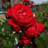 Dominik Blumen und Pflanzen, Kletterrosen Kordes Florentina, 1 Stück im Plant-o-fix-Topf, rot, 40x15x15 cm, 108315