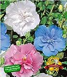 BALDUR-Garten Hibiskus Chiffon-Kollektion 3 Pflanzen pink, blau, weiß Hibiscus syriacus