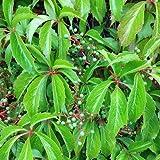 Wilder Wein 'Engelmannii' - Schnellwachsende Kletterpflanze von Native Plants
