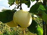 Apfelbaum, Weißer Klarapfel, Malus domestica, Obstbaum winterhart, alte Sorte gelb, im Topf, 130 - 150