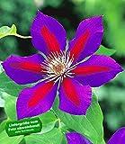 BALDUR-Garten Waldrebe Clematis 'Etoile de Malicorne', 1 Pflanze