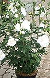 Hibiskus reinweiße Blüte Garteneibisch White Chiffon Hibiscus White Chiffon Containerware 60-80 cm hoch,