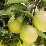 Apfel Baum 'Golden Delicious' Malus domestica im 7,5L Topf gewachsen 150-200cm winterharter Obstbaum