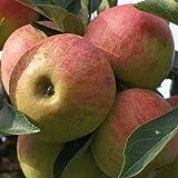Apfelbaum Elstar zweijähriger Buschbaum Obstbaum 120-150 cm 9,5 Liter Topf schwachwachsend M26