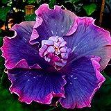 MEIGUISHA Gartensamen-100 stücke Riesen Hibiskus Pflanze winterhart Samen Hibiskus Mehrjährige Blume für Vorgarten/Steingarten