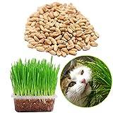 Samen-Paket: Organic Green Quecke 150G Weizen Sprießen Katzengras Gesunde Treat Seed