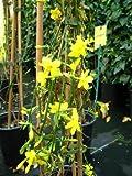 echter Winter Jasmin Jasminum nudiflorum 60 cm hoch im 2Liter Pflanzcontainer