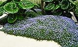10 x Isotoma fluviatilis (Winterhart/Staude/Bodendecker) Blauer Bubikopf Gaudich ab 1,99 € pro Stück