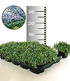 BALDUR-Garten Winterhart Isotoma 'Blue Foot' 25 Stk. trittfester Bodendecker, Rasen-Ersatz