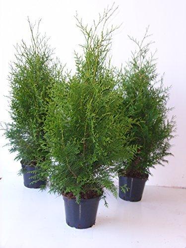 Thuja Brabant sehr dichte Heckenpflanze 70-80cm 2l Topf gewachsen