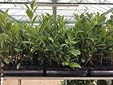 Kirschlorbeer Heckenpflanzen immergrün Sichtschutz Prunus lauroc.'Novita' im Topf gewachsen