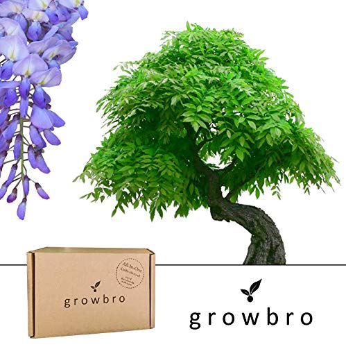 Bonsai | growbro | Wisteria Blauregen Bonsai | Anzuchtset | ideales Geschenk Bonsaibaum für Frauen und Männer, Weihnachtsgeschenk, Geschenkset inkl. Samen, Schere, Sprühflasche, Erde, uvm.