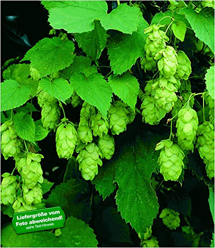 BALDUR-Garten Hopfen im 1.5-Liter Containertopf, 1 Pflanze Humulus lupulus Kletterpflanze winterhart