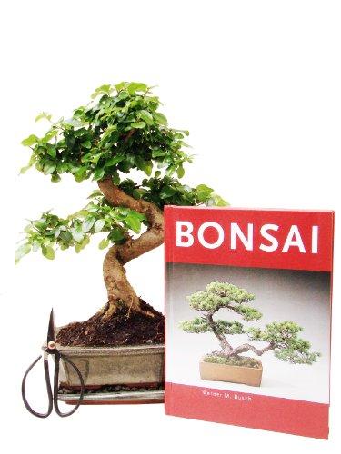 Bonsai-Geschenkset Anfänger-Set Liguster zimmertauglich immergrün vier-teilig ca. 7 Jahre, ca. 30 cm hoch