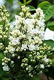 Flieder weiße Blüte Edelflieder Mme Lemoine Syringa vulgaris Mme Lemoine 40-60 cm