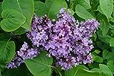 Gemeiner Flieder Wildflieder Syringa Vulgaris violette Blüte 40-60 cm hoch