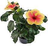 Fangblatt - Hibiskus 'Seppe' - die Hawaiblume mit farbenfrohen Blüten - der Rosen-Eibich ist als Pflanze für die Wohnung, Balkon oder Terrasse eine absolute Augenweide