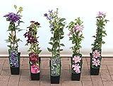 Clematis Kletterpflanzen 40-100cm topfgewachsen, verschiedene Sorten/Farben (40-60cm, Rosa)