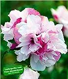BALDUR-Garten Freiland-Hibiskus'French Cabaret' Pastel, 1 Pflanze Hibiscus gefüllte Blüten winterhart