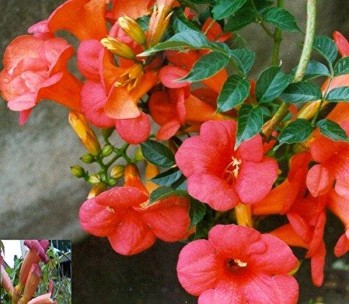 Rote Trompetenblume - Campsis tagliabuana - Madame Galen - Kletterpflanze, zweifarbige Blüte, 40-60 cm
