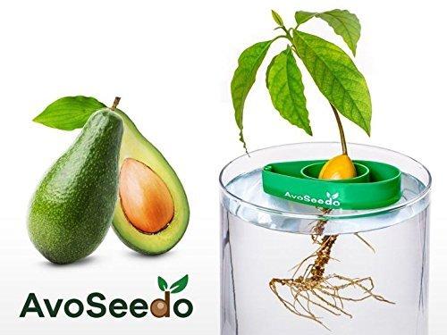 AvoSeedo besondere Garten Geschenk - Pflanzen Sie Ihren eigenen Avocadobaum. Kleine Geschenke für Frauen und Männer Die neue klein Dekoration