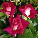 Edelrose Nostalgie - Stark duftende Rose mit zweifarbiger Rosenblüte in rot & creme-weiß - Winterharte nostalgische Edelrose im 5 Liter Container von Garten Schlüter - Pflanzen in Top Qualität
