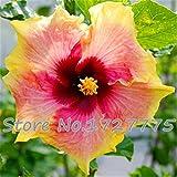 Im Angebot!!! 200pcs Hibiscus Samen 24kinds Hibiscus rosa-sinensis Blumensamen Hibiskus Baumsamen für Blumentopfpflanzen