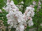 Fliedertraum Syringa vulgaris 'Beauty of Moscow' Gartenpflanze, Flieder Hellrosa-weiß Blühend, Gefüllt 40-60 cm