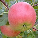 Apfelbaum Rubinola (S) robuster Herbstapfel Halbstamm mit ca. 170-200 cm im 9,5 Liter Topf MM 111