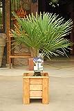 winterharte Palme Hanfpalme -18 °C trachycarpus fortunei palmen. (Gesamthöhe 60 cm)