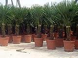 Hybrid Hanfpalme ca.130 cm Höhe aus Deutscher Freilandzucht. Frosthart bis - 19 Grad Indoor und Outdoor