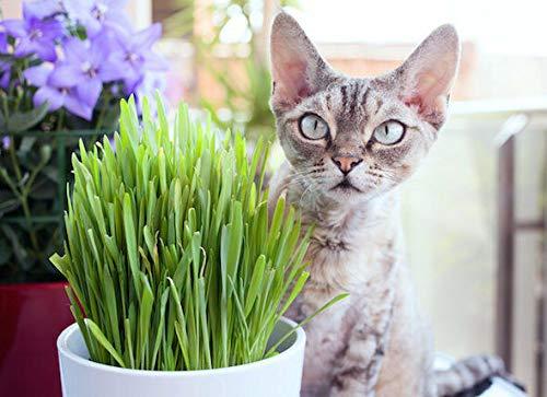 GETSO Samen-Paket Nicht Pflanzen: 48.99: USAOrganic Katzengras (Prairie) 300-lb Samen