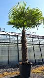 250 - 300 cm Trachycarpus fortunei Hanfpalme, winterharte Palme bis -18°C