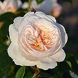"""Kletterrose """"Sabrina"""" - cremeweiß blühende, duftende ADR-Topfrose im 6 L Topf - frisch aus der Gärtnerei - Pflanzen-Kölle Gartenrose"""
