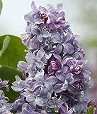 Fliedertraum Syringa vulgaris 'Nadeshda' Gartenpflanze, Flieder Blau Blühend, Gefüllt 40-60 cm