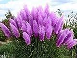 Lila Pampasgras (Cortaderia selloana) / Ziergras / 50 Samen / farbenfroher Blütenstand in violett/pink