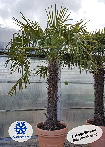 winterharte Chinesische Hanfpalme (Trachycarpus fortunei)