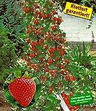 BALDUR-Garten Kletter-Erdbeere 'Hummi', 3 Pflanzen Fragaria