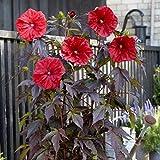 lichtnelke - Riesen-Hibiskus (Hibiscus moscheutos) Carousel Red Wine