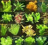 8 Bund - ca. 50 Wasserpflanzen + 4 Düngekugeln, für Kinderaquarien, kaum Algenwachstum, traumhafte Farben - Mühlan
