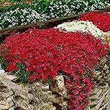 AIMADO Samen-50 Pcs Bodendeckende Polsterstauden-Kollektion Blumensamen Blaukissen pflegeleicht Sommer Blumen mehrjährig Winterhart für Garten
