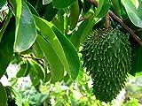 Stachelannone Annona muricata Graviola Pflanze 15-20cm Sauersack Rarität