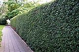 Liguster Atrovirens Heckenpflanzen 50-80 cm hoch 4-5 Triebe im Rabatt-Paket-Liguster Atrovirens Wurzelware - floranza 10 Stück