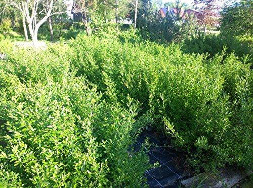 20 x Liguster im Topf 2 Jahreszucht Heckenpflanzen (Freiland aufgezogen)