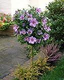 Hibiskus Oiseau bleu zum Stämmchen gezogen blau blühend. 1 Pflanze - zu dem Artikel bekommen Sie gratis ein Paar Handschuhe für die Gartenarbeit dazu