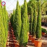 20PCS seltenen Zypresse seed Koniferen seed Koniferen Samen ausdauernde eingetopften Pflanze DIY Hausgarten