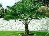 Trachycarpus fortunei ca. 125-140 cm. Frostharte Hanfpalme bis -17 Grad